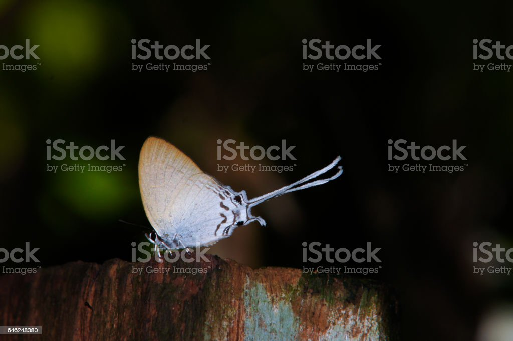Lycaenidae on wood stock photo