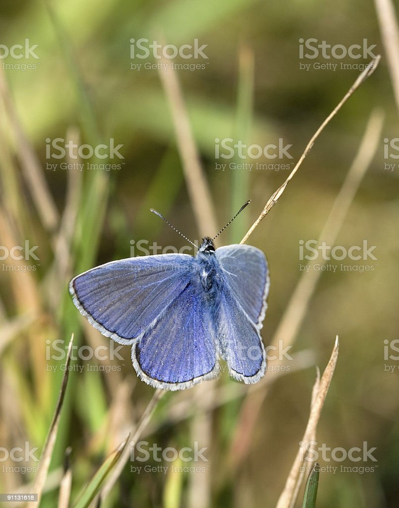 Lycaenidae stock photo