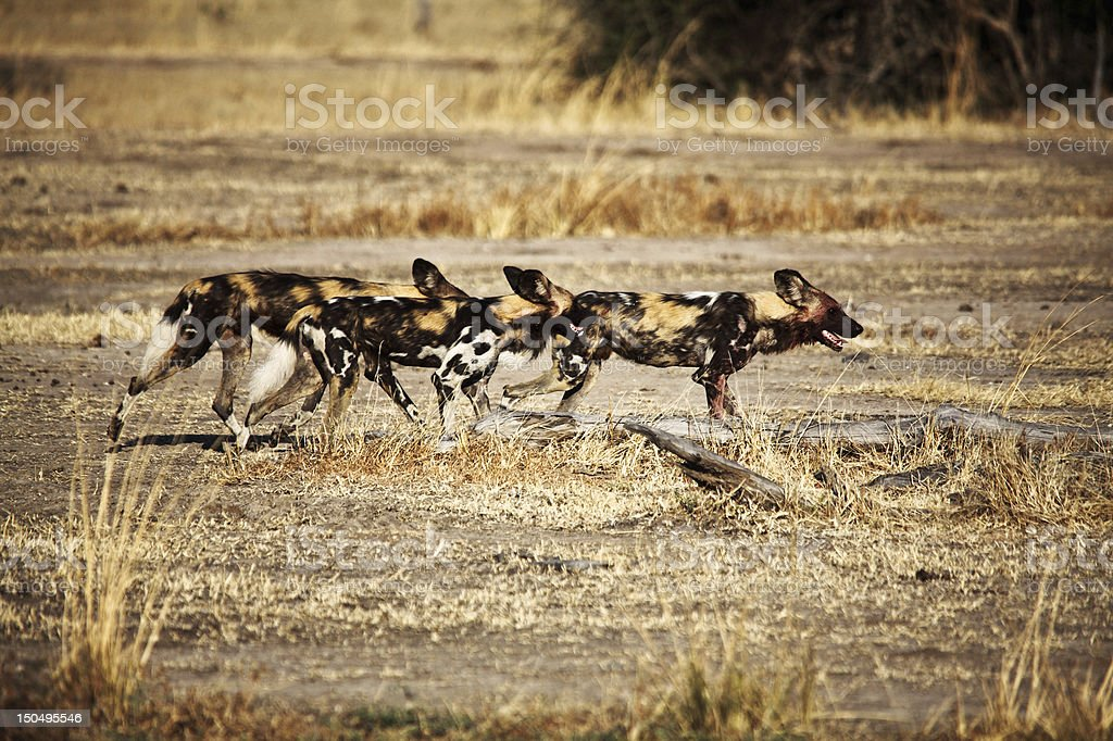 Lycaon pictus african wild dogs stock photo