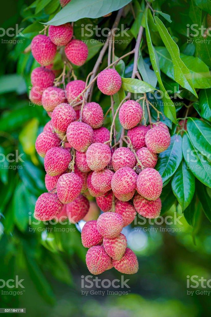 Lychee fruits, locally called Lichu. stock photo
