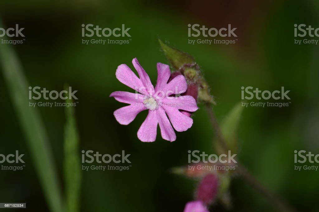 Lychnis flos-cuculi or Ragged-Robin flower, backgrounds stock photo