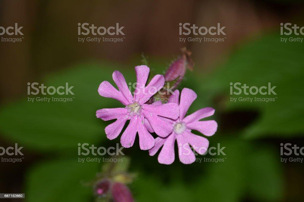 Lychnis flos-cuculi or Ragged-Robin flower stock photo