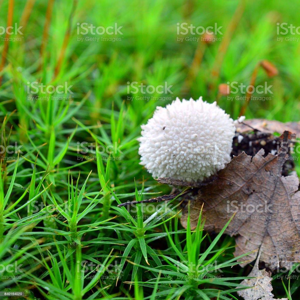 lycoperdon perlatum mushroom stock photo