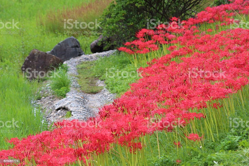 Lycoris radiata (red spider lily) Part 1 stock photo