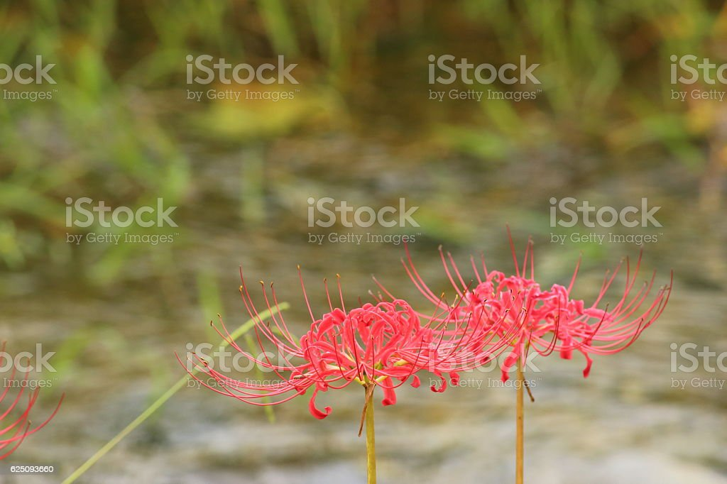 Lycoris radiata (red spider lily) Part 2 stock photo