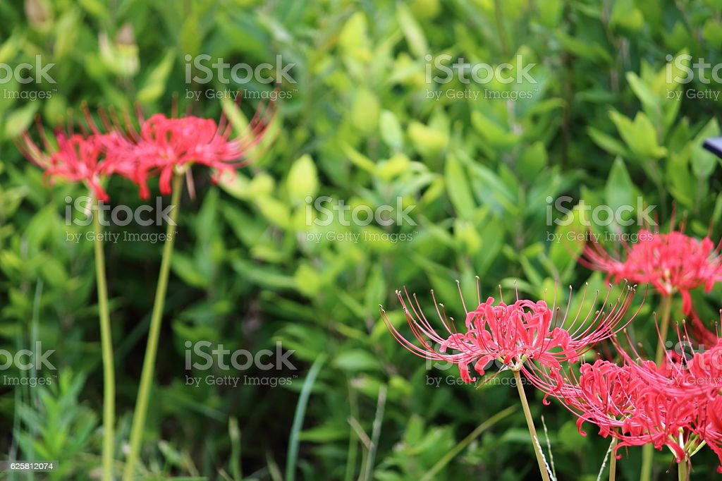 Lycoris radiata (red spider lily) Part 8 stock photo