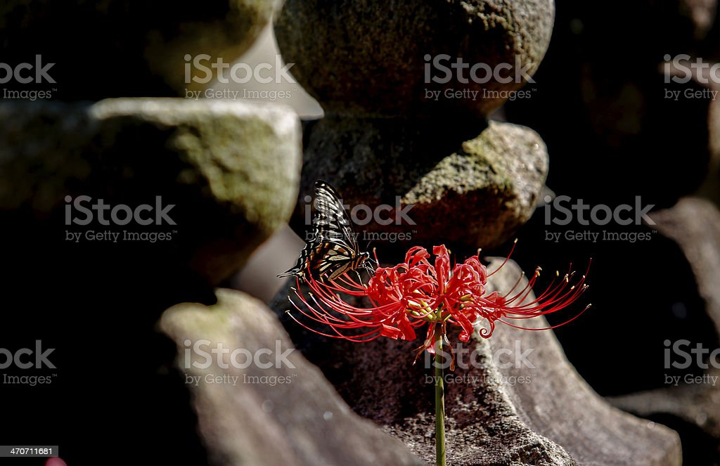 Lycoris radiata stock photo