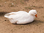 Lying domestic goose - Anser cygnoides domesticus