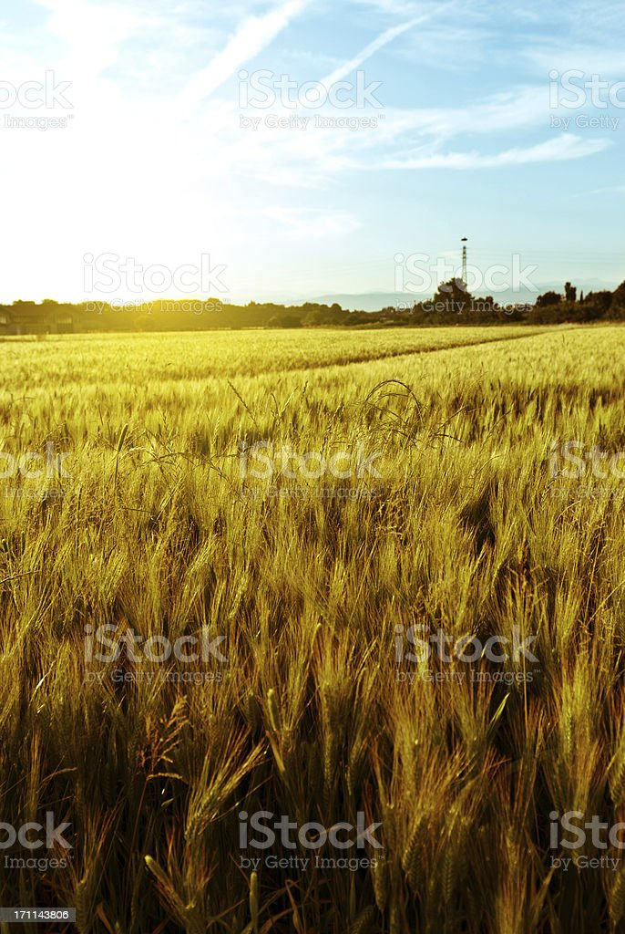 lying fallow wheat before the harvest at sunset royalty-free stock photo