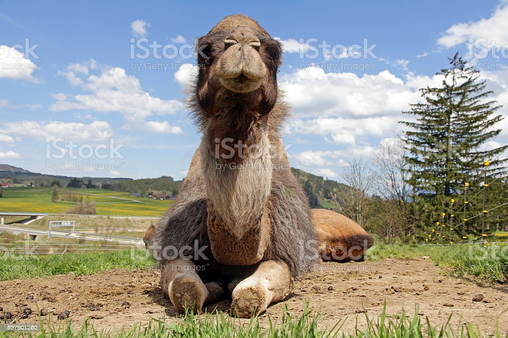 lying female dromedary stock photo