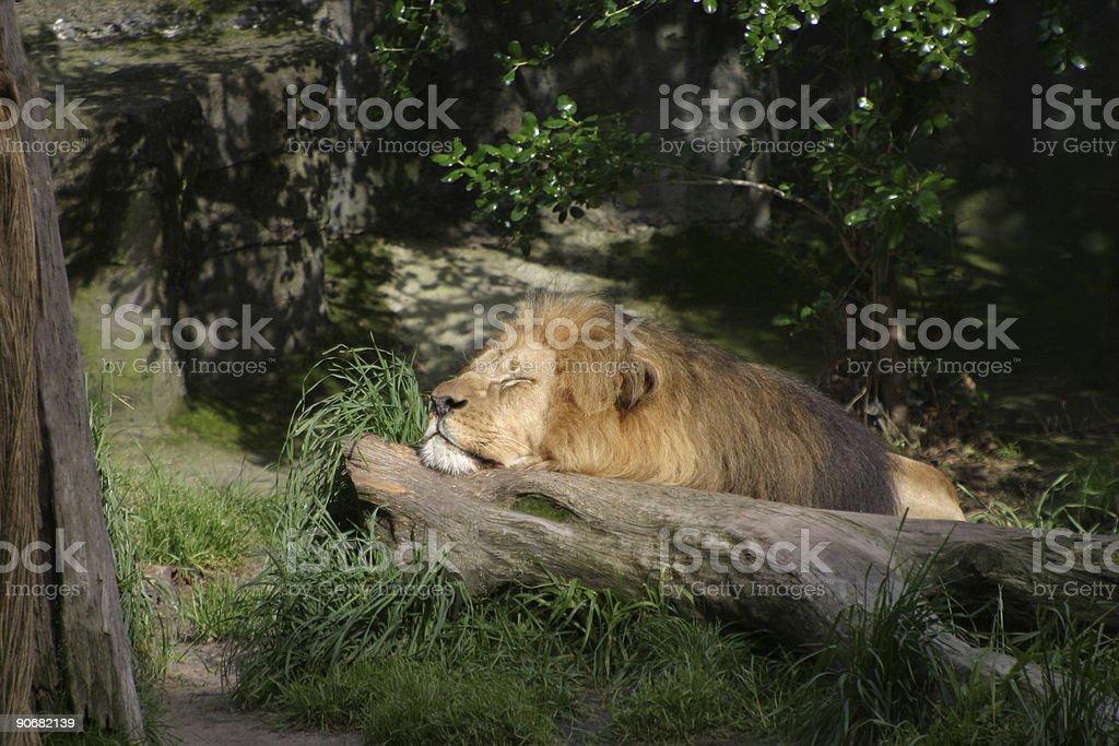 Lying Lion 2 royalty-free stock photo