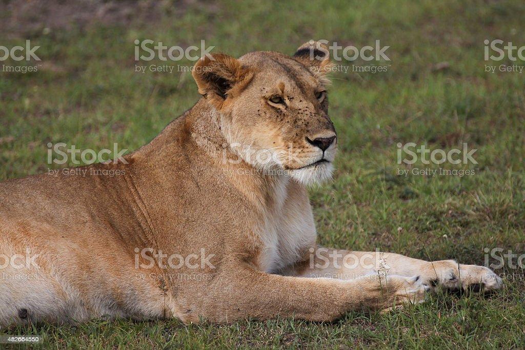 Lying lion royalty-free stock photo