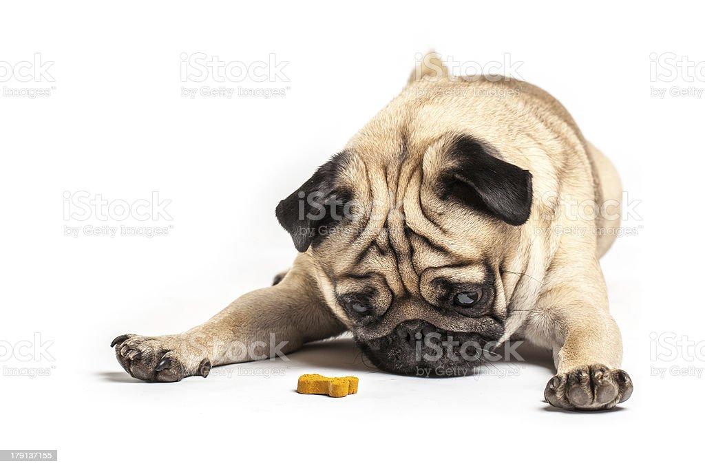 Lying Pug with treat, isolated on White Background. royalty-free stock photo