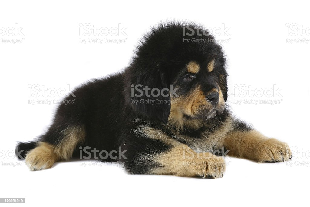 Lying pup on a white background. stock photo