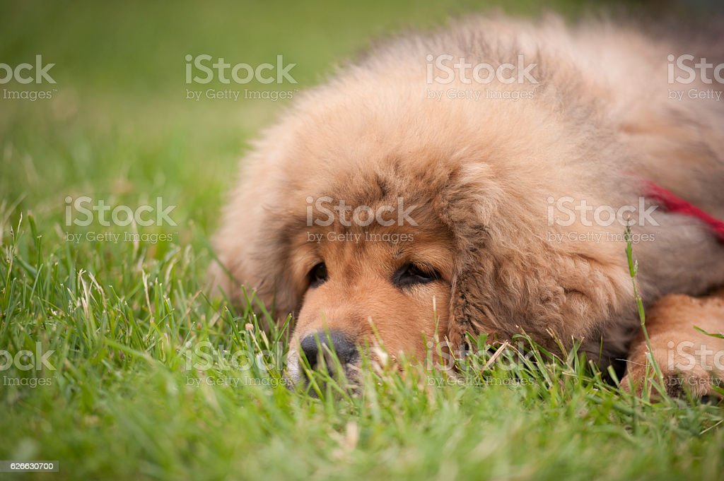 Lying puppy stock photo