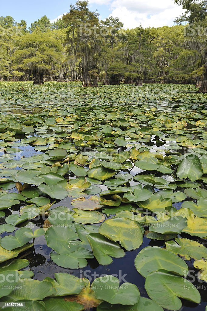 Lyly pads at Caddo Lake in Texas royalty-free stock photo