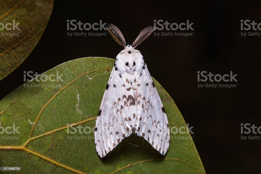 Lymantria marginalis moth on green leaf stock photo