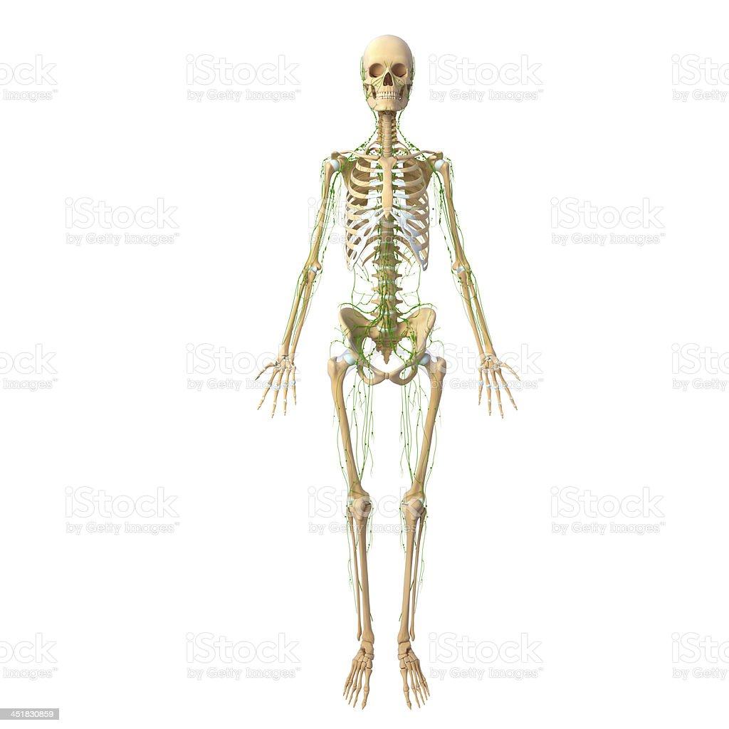 Lymphatic system of female body anatomy stock photo