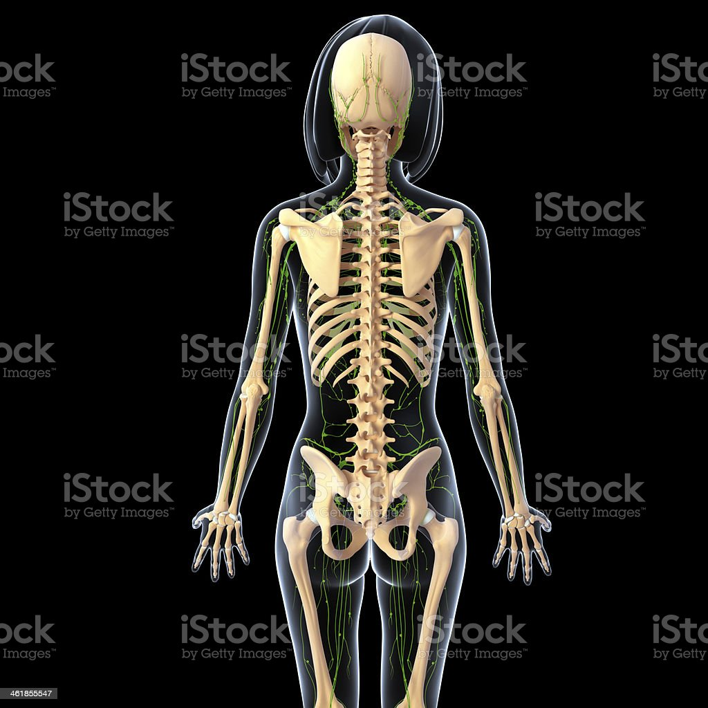 lymphatic system of female stock photo