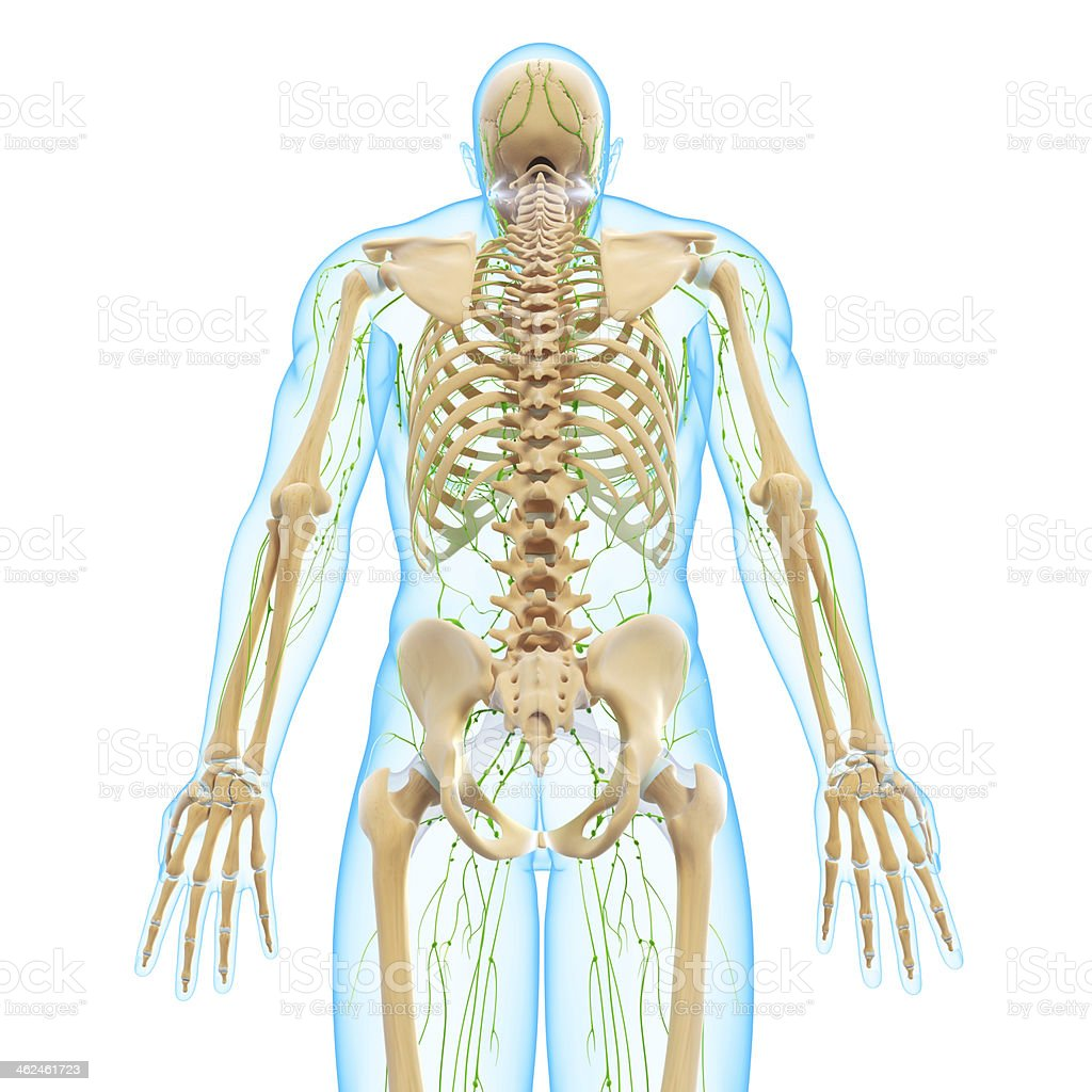 lymphatic system of male back view with skeleton stock photo