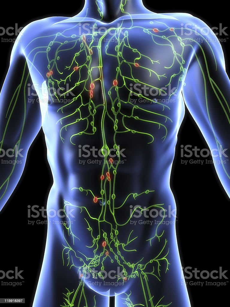 lymphatic system stock photo