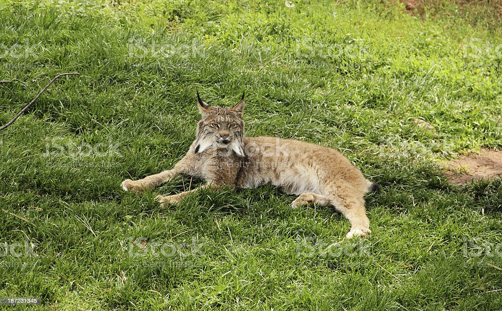 Lynx Canadensis Prowling Wild Cat royalty-free stock photo