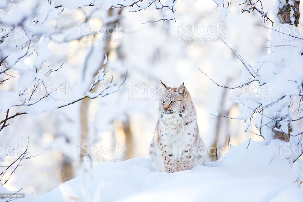 Lynx cub in the cold winter forest stock photo