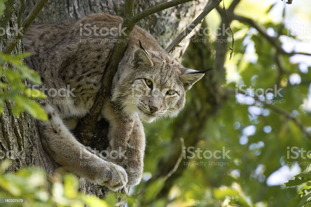 Lynx In A Tree royalty-free stock photo