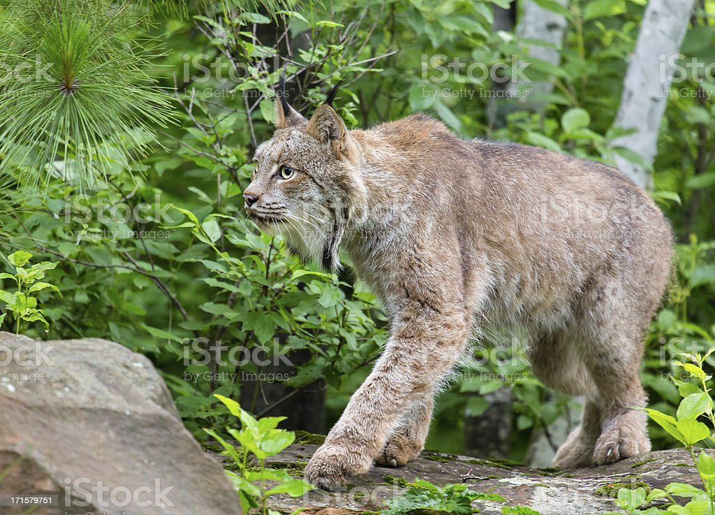 Lynx in Forest royalty-free stock photo