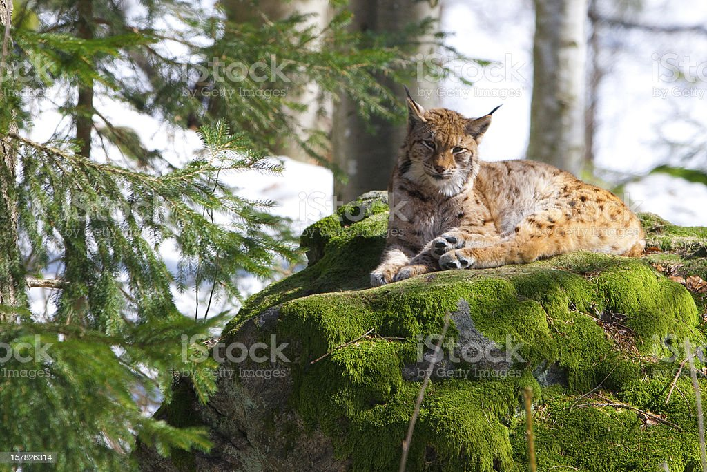 Lynx in the Bayerischer Wald National Park stock photo