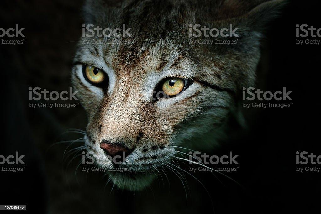 Lynx In The Dark royalty-free stock photo