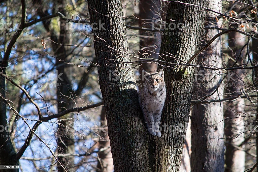Luchs im Baum royalty-free stock photo