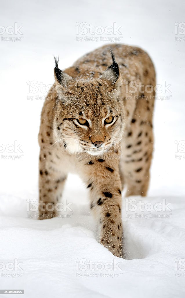 Lynx in winter royalty-free stock photo
