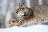 Lynx on the prowl.