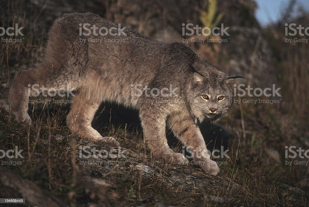 Lynx royalty-free stock photo