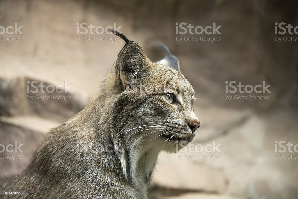 Lynx Profile royalty-free stock photo