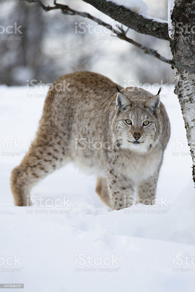 Lynx sneaking in the forest royalty-free stock photo
