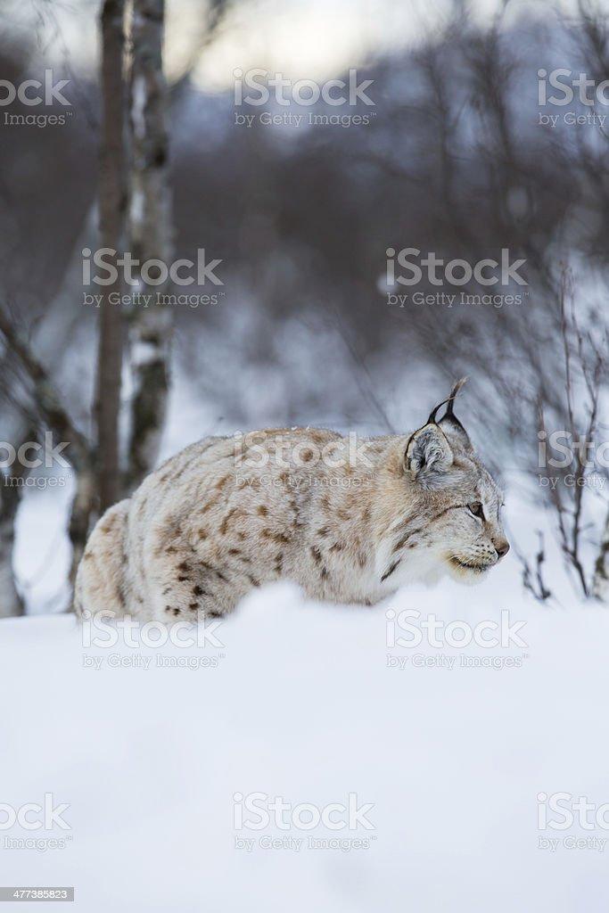 Lynx sneaks in winter landscape royalty-free stock photo
