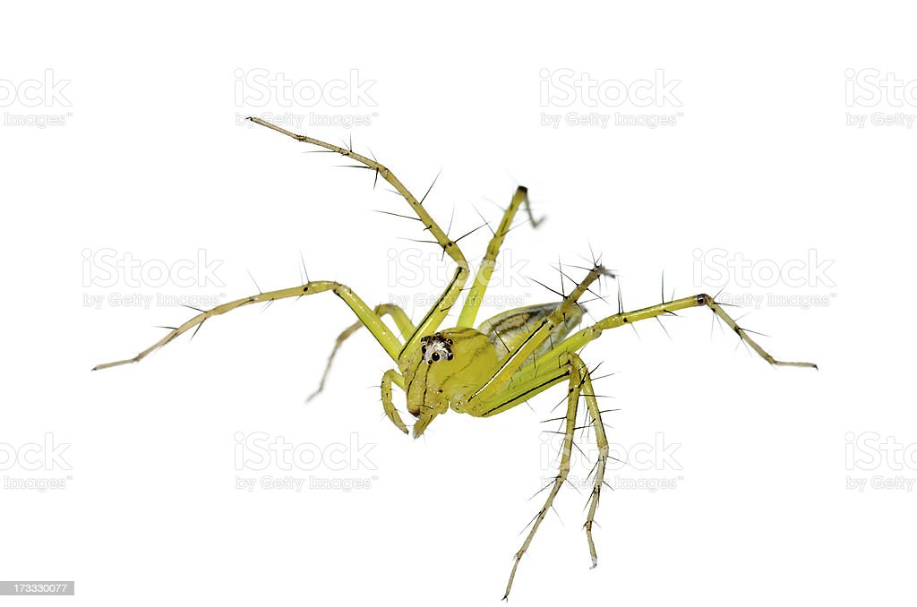Lynx Spider Isolated (Oxyopes) royalty-free stock photo