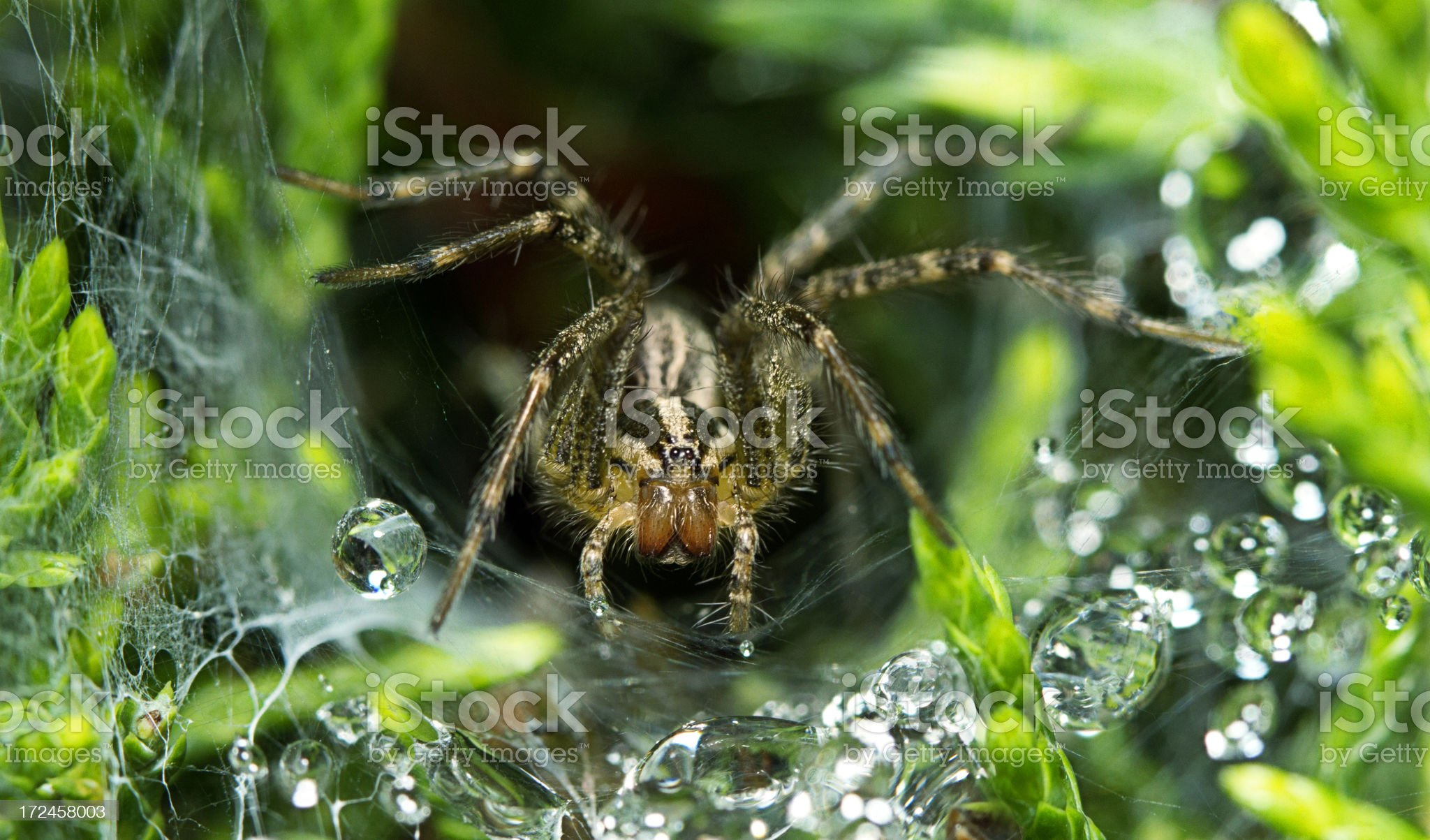 Lynx spider, Oxyopidae, Hunting For Prey In It's Web royalty-free stock photo