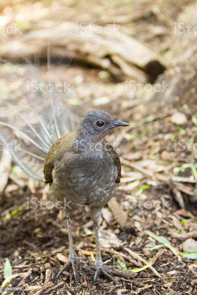 Lyrebird in the Australian Bush stock photo