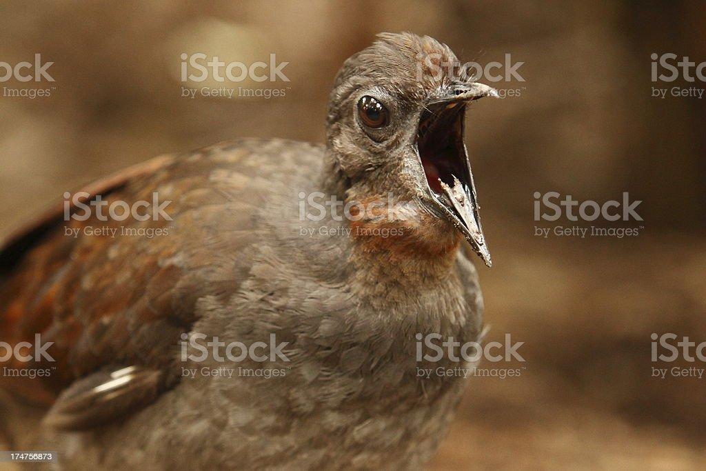 Lyrebird stock photo
