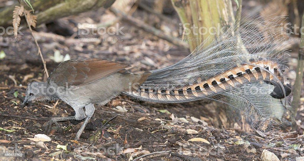 lyrebird royalty-free stock photo