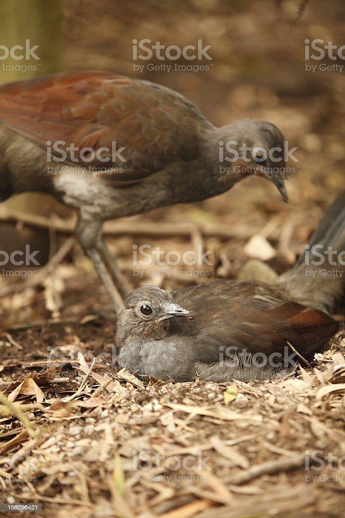 Lyrebirds stock photo