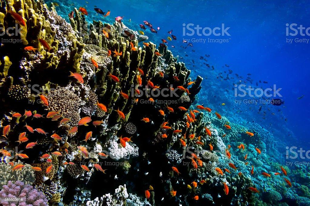 Lyretail Anthias fish on a coral reef stock photo