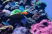 Lyretail Anthias fish