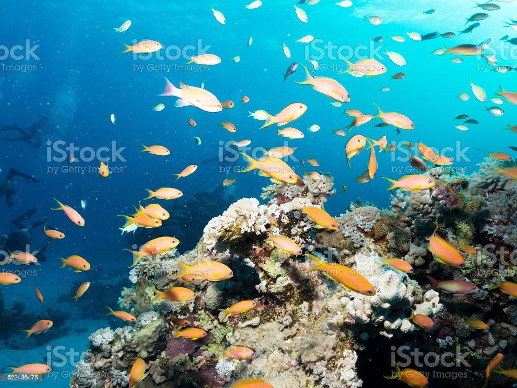Lyretail Anthias in Coral Reef, Red Sea, Egypt stock photo