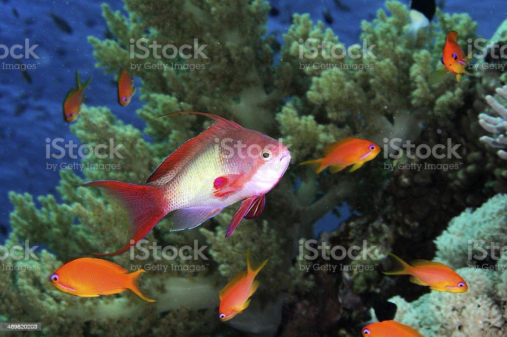 Lyre-tail Anthias on coral reef stock photo
