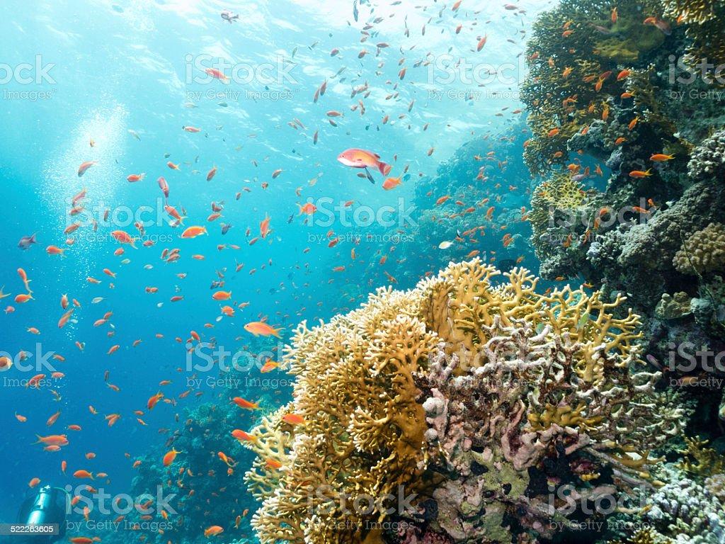 Lyretail Anthias, Pseudanthias squamipinnis, feeding, Egypt, Red Sea stock photo