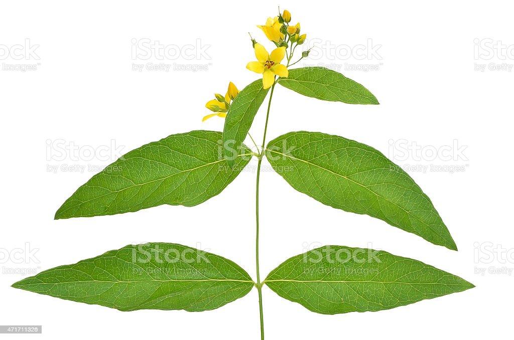 Lysimachia flower white background stock photo